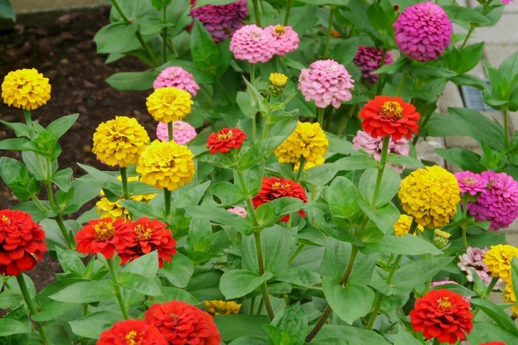 Garden Felix -Zinnias attract bees, butterflies and hoverflies