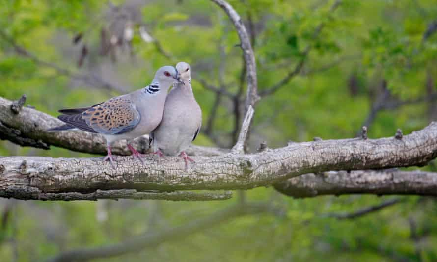 Lack of wildflower seeds has made it more difficult for turtle doves to breed successfully