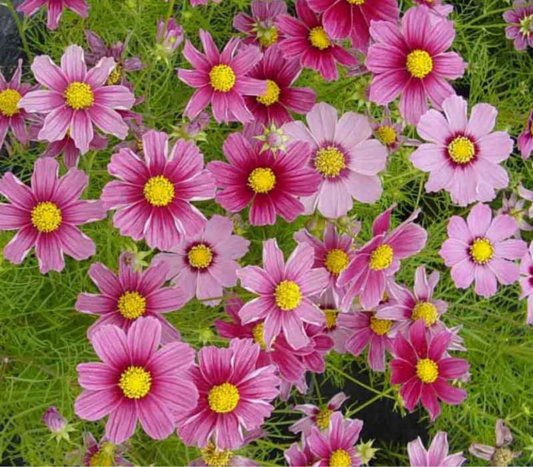 Garden Felix -Cosmos produce masses of flowers