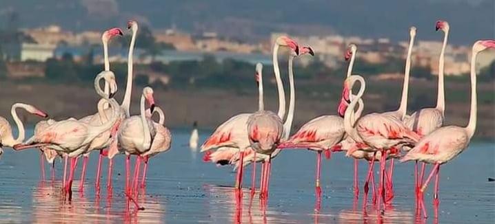 Flamingos in La Mata-Torrevieja protected reserve and natural lagoon.