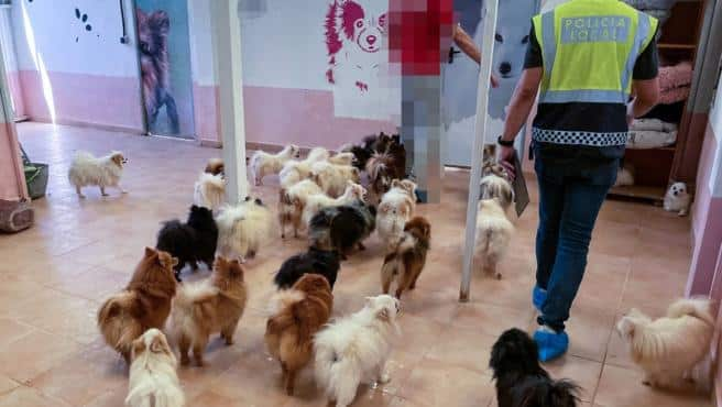 Elche police close illegal kennels with 137 dogs on site