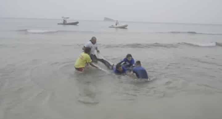 Shark stranded at Poniente beach Benidorm dies. Photos courtesy: Oceanographic Valencia.