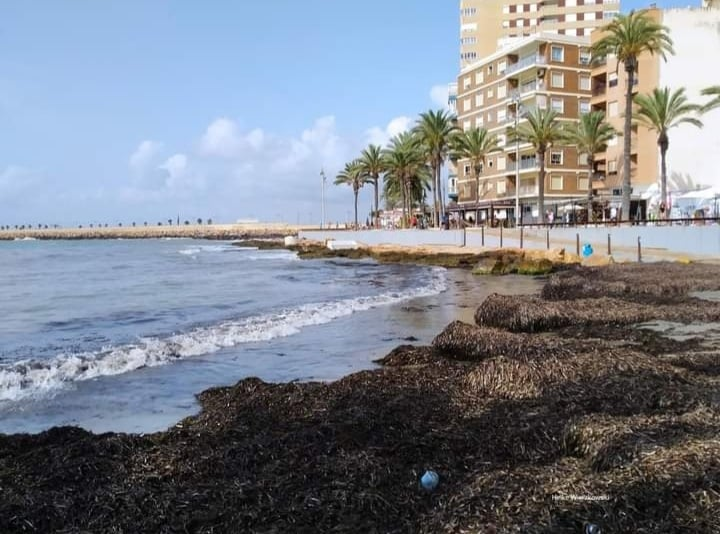 Algae stops bathing in Torrevieja. Photos: Heike Weirzkowski.