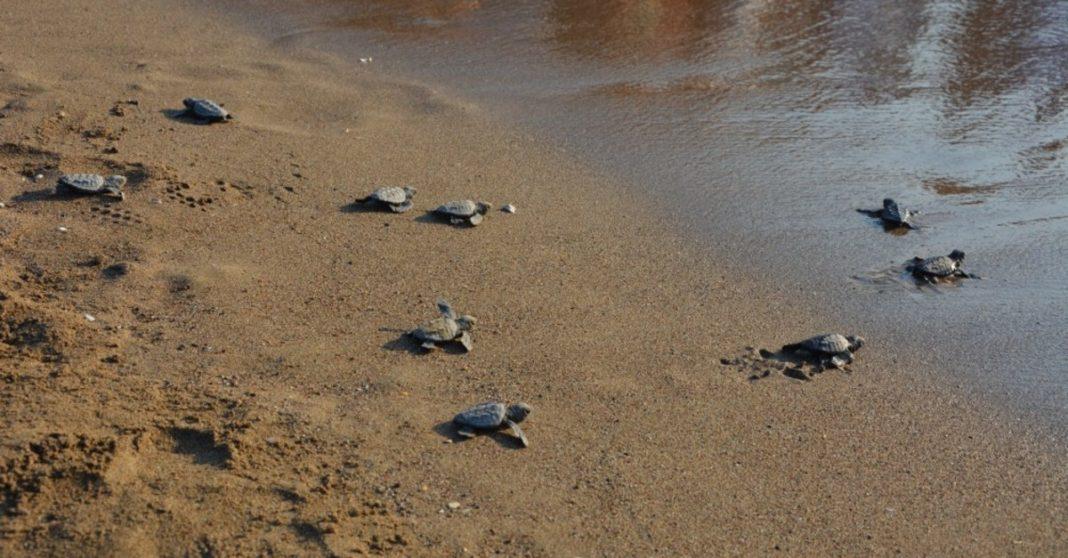 Turtles returned to the sea