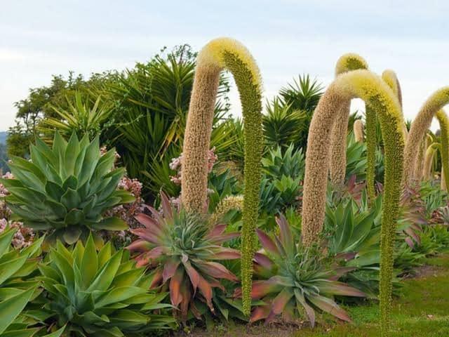 Garden Felix: Agave Attenuata