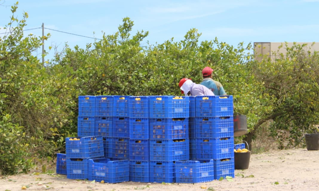 Lemons in Alicante province, concentrated in Bajo Segura, worth €110m annually